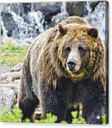 Bear On The Prowl. Acrylic Print