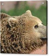 Bear Profile Acrylic Print