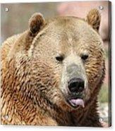 Bear Rasberry Acrylic Print