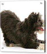 Bearded Collie Pup Acrylic Print