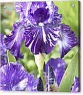 Bearded Iris Iris Germanica Batik Acrylic Print