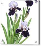Bearded Iris Trio Acrylic Print