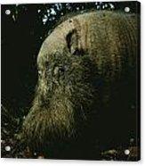 Bearded Swine Sus Barbatus Acrylic Print