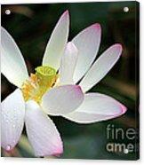 Beatutiful Wet Lotus Acrylic Print