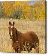 Beautiful Chestnut Horse Acrylic Print