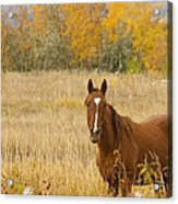 Beautiful Grazing Horse Acrylic Print