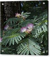 Beautiful Alabama Mimosa Silk Tree Acrylic Print