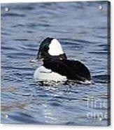Beautiful Bufflehead Duck At The Lake Acrylic Print
