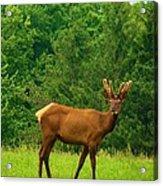 Beautiful Bull Elk In Velvet Acrylic Print
