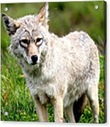 Beautiful Coyote In Alaska Acrylic Print