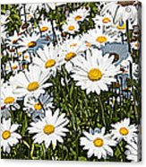 Beautiful Daisies Acrylic Print