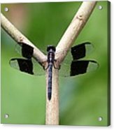 Beautiful Dragonfly Acrylic Print
