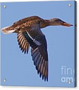 Beautiful Duck Flying Acrylic Print