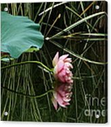 Beautiful Fallen Lotus Acrylic Print