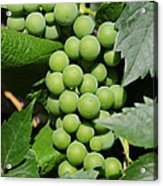 Beautiful Grapes Acrylic Print