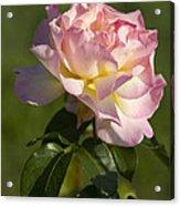 Beautiful Pink And Yellow Climbing Peace Rose Acrylic Print