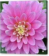 Beautiful Pink Dahlia Flower Acrylic Print