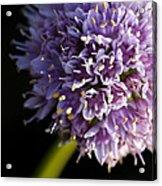 Beautiful Purple Flower Allium Senescens Acrylic Print