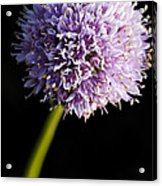 Beautiful Purple Flower With Black Background Acrylic Print