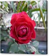 Beautiful Red Rose In A Small Garden Acrylic Print