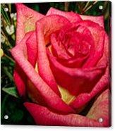 Beautiful Rose Acrylic Print by David Alexander