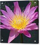 Beautiful Water Lily Acrylic Print