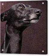 Beautiful Whippet Dog Acrylic Print by Ethiriel  Photography