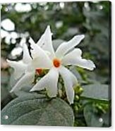 Beautiful White Flower With Orange Center Acrylic Print