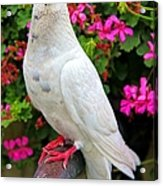 Beautiful White Pigeon Acrylic Print
