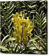 Beautiful Yellow Flowers Inside The National Orchid Garden In Singapore Acrylic Print