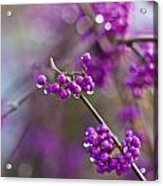 Beauty Berry Explosion Acrylic Print