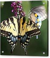 Beauty Of Butterflies  Acrylic Print