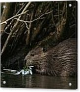 Beaver Building A Dam, Ozark Mountains Acrylic Print by Randy Olson