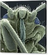 Bedbug Head, Sem Acrylic Print