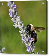 Bee And Lavender Acrylic Print