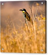 Bee Eater With Insect Acrylic Print
