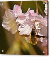 Bee Fly Feeding 1 Acrylic Print