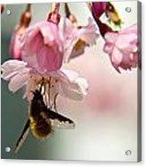Bee Fly Feeding 2 Acrylic Print