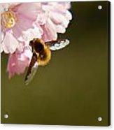 Bee Fly Feeding 4 Acrylic Print