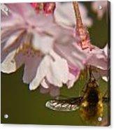 Bee Fly Feeding 8 Acrylic Print