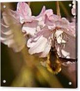 Bee Fly Sucking Nectar 1 Acrylic Print