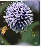 Bee In Flight Acrylic Print