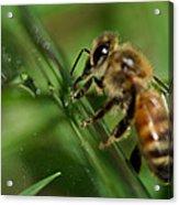 Bee In Green Acrylic Print