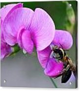 Bee In The Pink - Greeting Card Acrylic Print