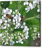Bee Of The White Flower Acrylic Print