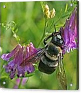 Bee On A Pink Flower Acrylic Print