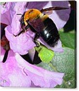Bee On Azalea Bloom Acrylic Print by Lisa Phillips
