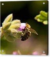 Bee On Blossom Flower Acrylic Print