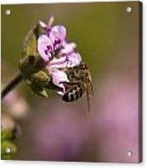 Bee On Flower Blooming Acrylic Print