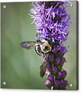 Bee On Gayfeather Squared 2 Acrylic Print